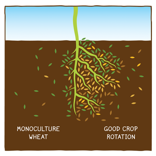 Growing pulse crops in rotation with other crops feeds soil microbes and benefit soil health.